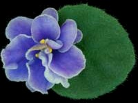 African Violets By Lyndon Lyon Greenhouses